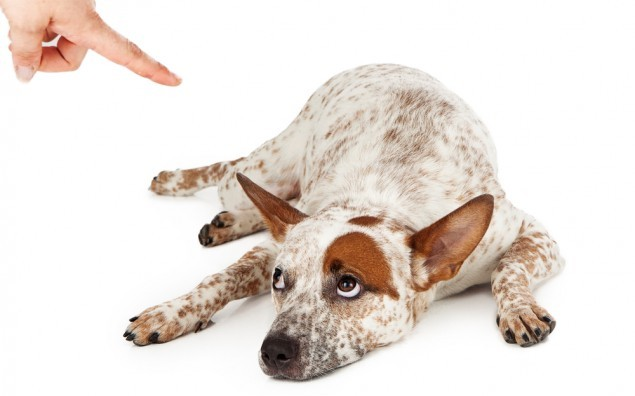 An Australian Cattle Dog mixed breed laying down on the floor and rolling his eyes up at a finger being pointed at him as he is being scolded.