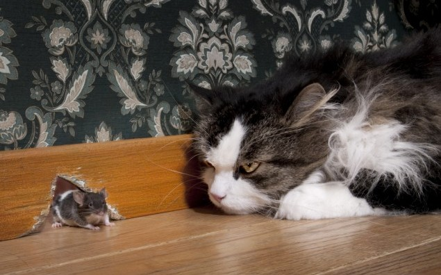 Cat staring at a mouse coming out of her hole