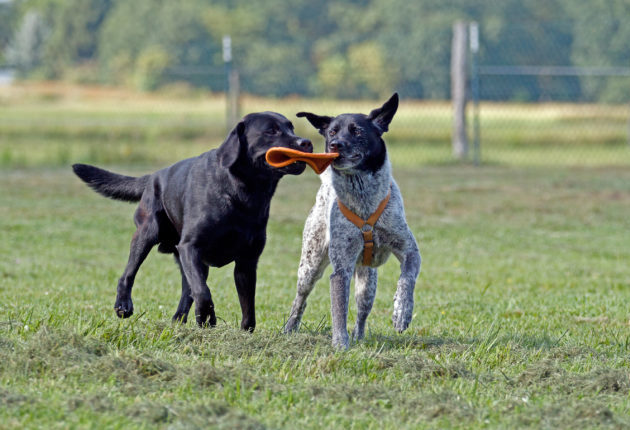 Two dogs playing with a frisbee